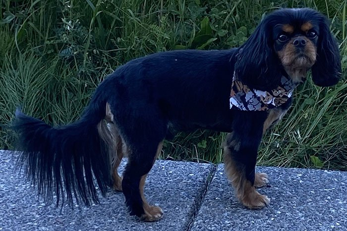 Customer Review of Cavalier King Charles Spaniel