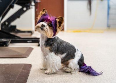 We dye dog's hair Canine Divine Blaine