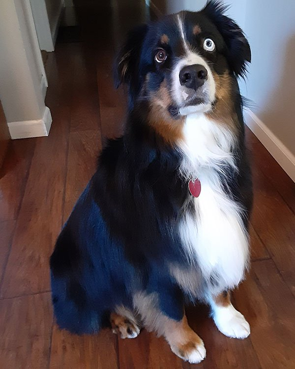 Australian Shepard groomed by Canine Divine Blaine