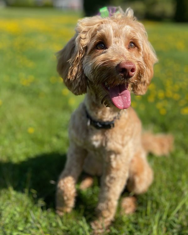 Labradoodle Groomer Blaine Customer Review
