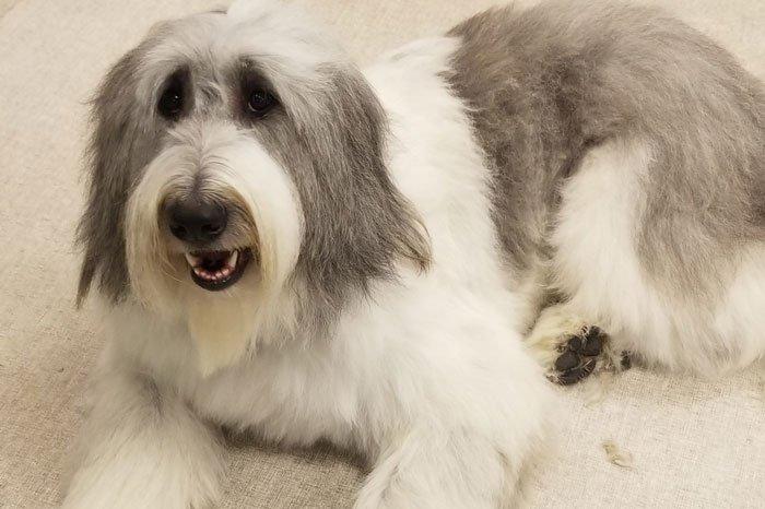 Groomer Blaine Romanian Shepard Dog
